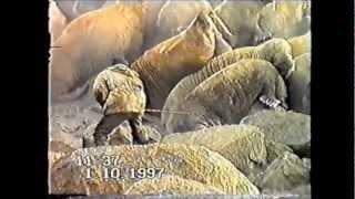 Традиционный покол моржей на лежбищах Чукотки(Трудно поверить, что такое может происходить в наши дни в нашей стране. Это и есть гармония коренного насел..., 2012-04-01T13:01:30.000Z)
