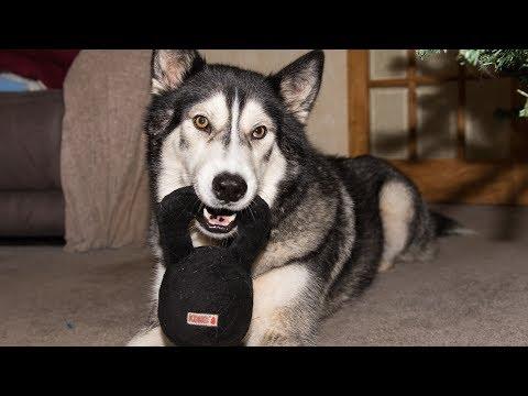 husky/malamute-tests-kong-kettlebell-toy