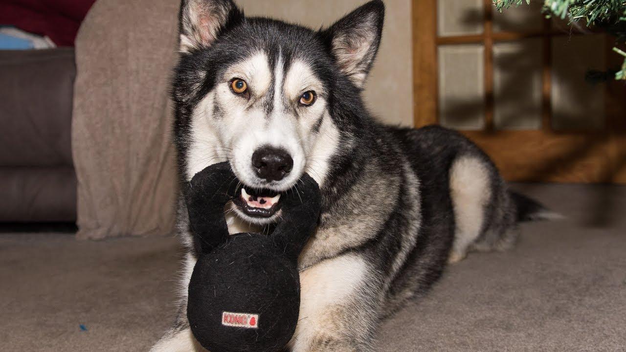 Husky/Malamute Tests Kong Kettlebell Toy