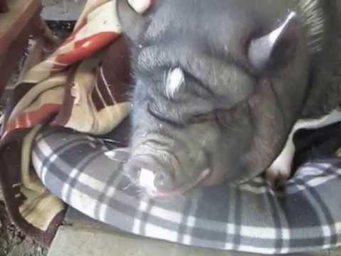 Pot Belly Pig Barking