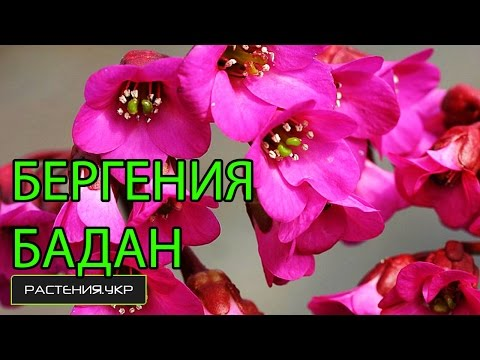 Бергения или Бадан / многолетние цветы