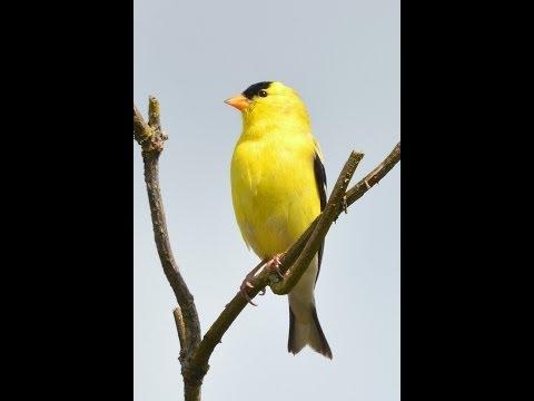 American Goldfinch singing in spring