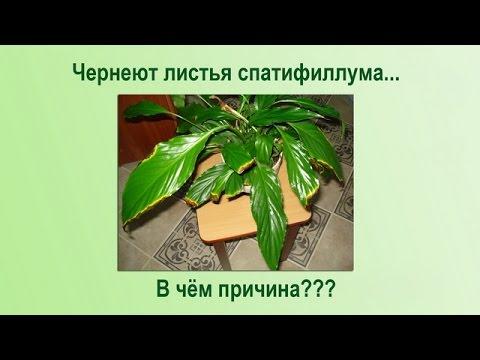 Чернеют и сохнут листья спатифиллума