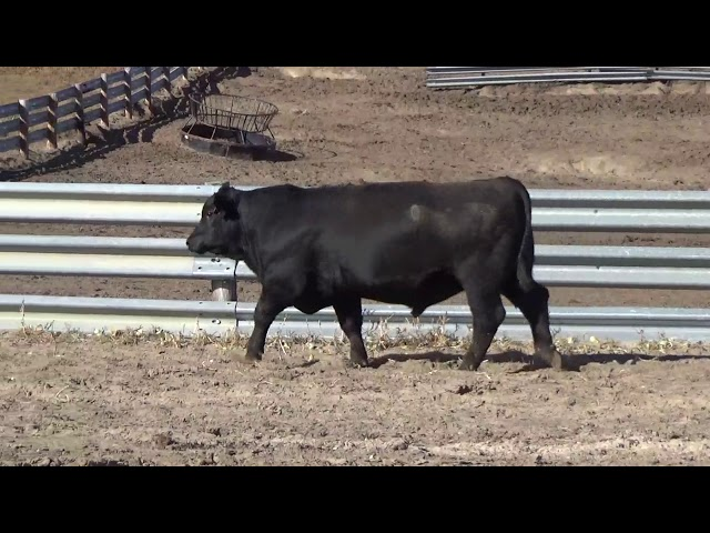 Connealy Angus Lot 103