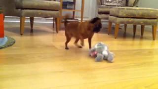Пти брабансон и заяц-хохотун