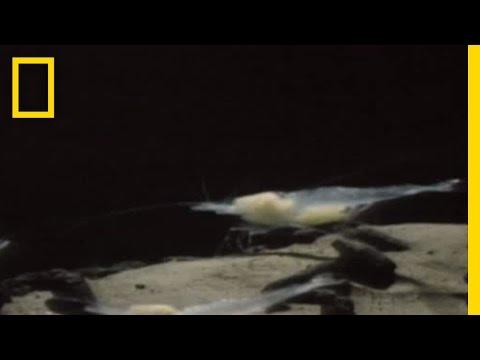 Blind Shrimp Leading Blind Cavefish | National Geographic