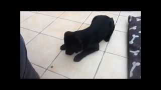 15 Week Old Black Labrador Molly Training With Treats On Her Paws!
