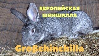 Европейская Большая Шиншилла в России/Кролик Großchinchilla