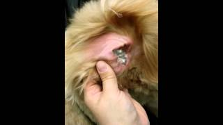 The Doodle Chariot presents: Proper ear care video