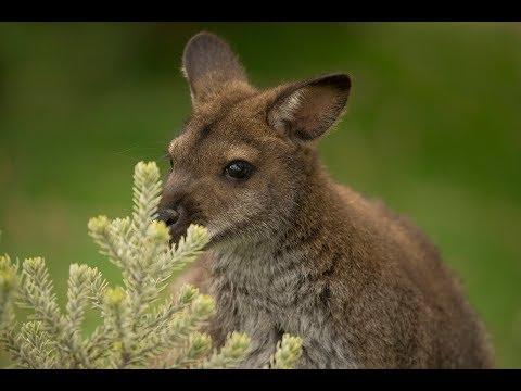 Kangaroos, Wallabies & Monotremes