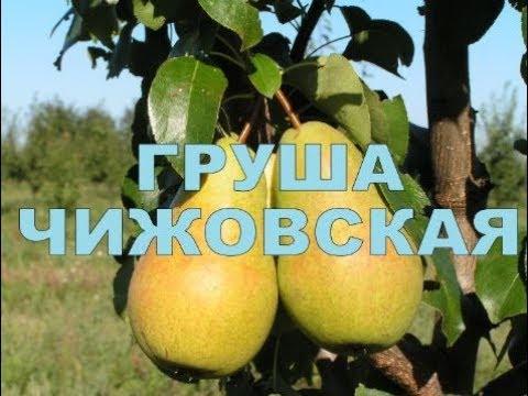 ГРУША ПОЗДНЕЛЕТНЯЯ СОРТ ЧИЖОВСКАЯ (РОССИЯ)