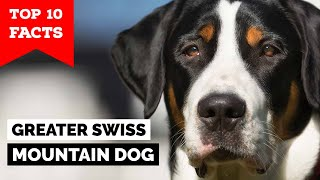 Greater Swiss Mountain Dog  Top 10 Facts