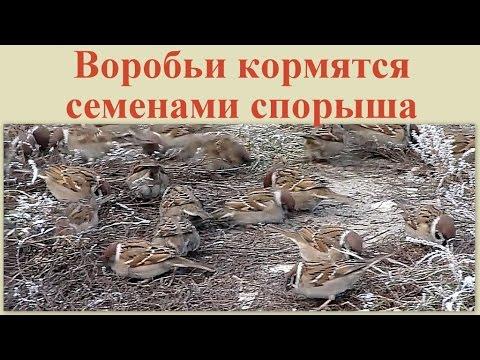 Семена горца птичьего, спорыша, ТМ OGOROD - 10 грамм(6500