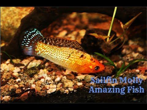 Sailfin Molly: Amazing Fish