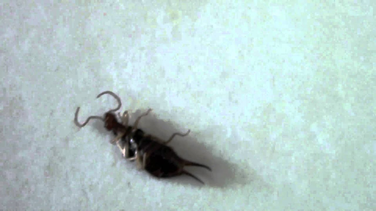 Bite Bitten On The Arse By This Little Insect Earwig