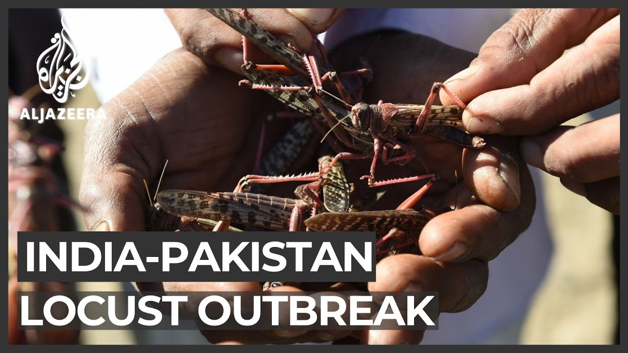 India and Pakistan face the worst locust attack in decades