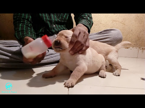 cerelac feeding to puppies day 18
