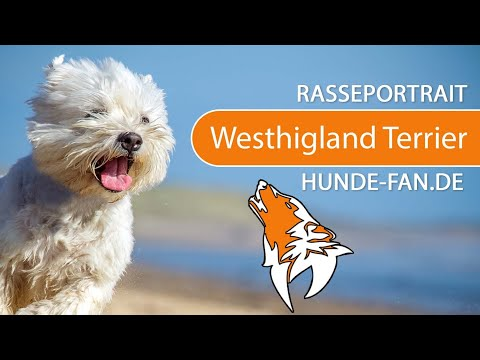 West Highland White Terrier [2019] Rasse, Aussehen & Charakter