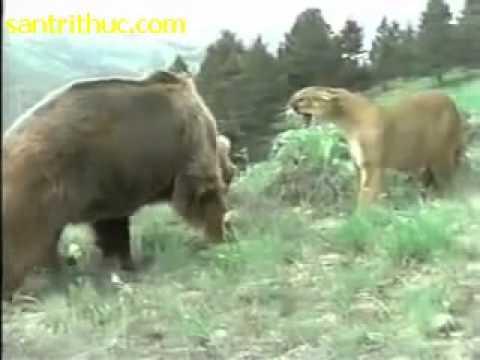 Gấu tấn công, sư tử bảo vệ con
