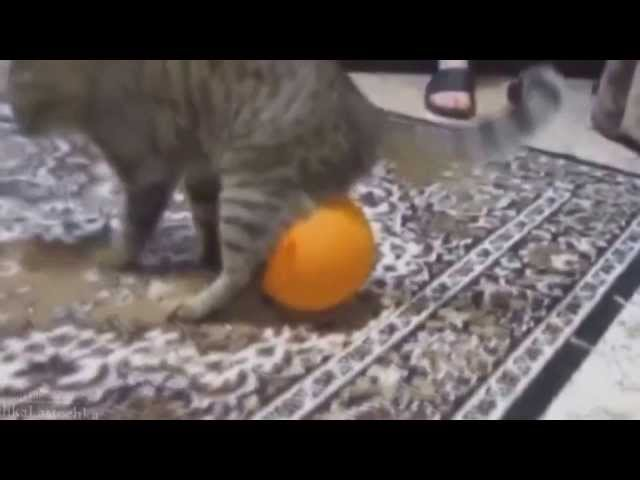 Witzige Katzen. Nur die besten Videos. Geniale Sammlung