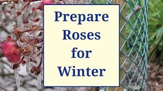 Prepare Roses for Winter