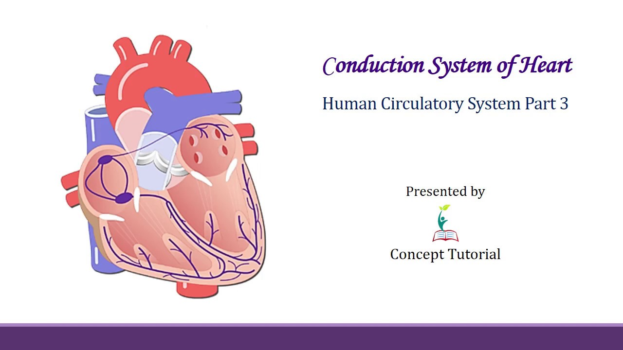Conduction System of Heart | Body Fluids & Circulation ...