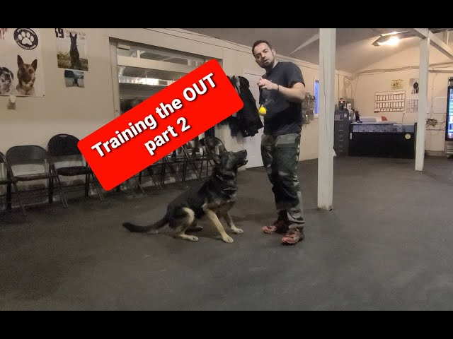 Training HIGH DRIVE dogs to OUT - Pt 2