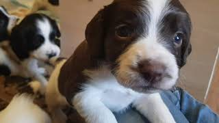3.5 Week Old English Springer Spaniels Puppies Puppys Puppy Playtime
