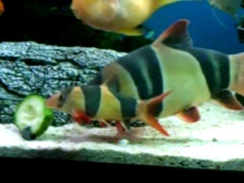 Large clown loach in 8 foot tank youtube for Clown fish size