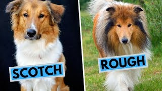 Scotch Collie vs Rough Collie Difference