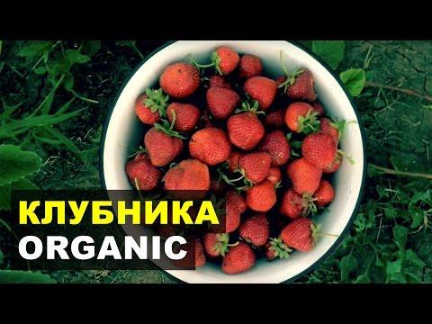 Выращивание органической клубники. Сорта АЛЬФА, ХОНЕЙ, ЧАМОРА ТУРУССИ
