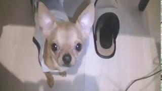 まだまだ甘えん坊、子犬チワワ(Chihuahua)のクンクン鳴き声。犬の鳴き...