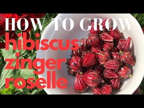 How to Grow Roselle Red Hibiscus Zinger Tea