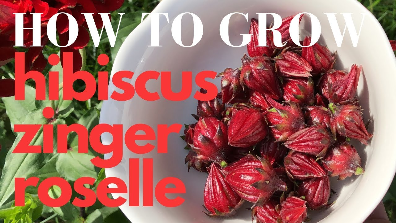 How To Grow Roselle Red Hibiscus Zinger Tea Youtube