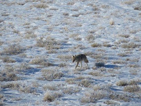 Wyoming Predator Hunting Day 8