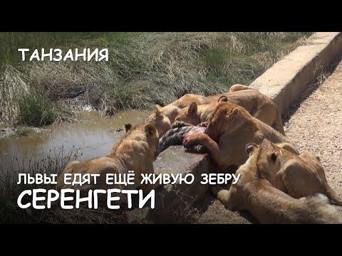 Ответы@: что едят львы????