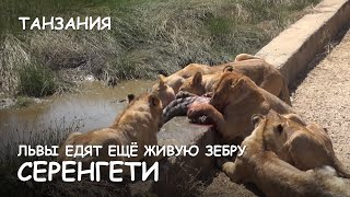 Мир Приключений - Львы едят еще живую зебру. Серенгети. Танзания. Lions attack. Serengeti. Tanzania.