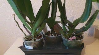 Как узнать сорт и цвет орхидеи из уценки без цветов? Орхидеи по 100 руб. Уценка отцветших орхидей.