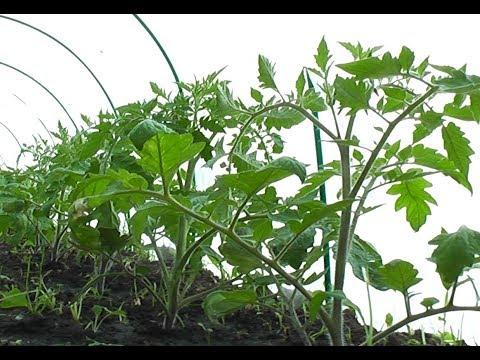 Первая подкормка ТОМАТА на 14-й день после посадки рассады | подкормка | открытый | томатов | рассада | помидор | высадка | томата | посадк | первая | томат