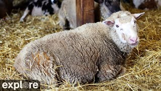 Sheep Barn Cam at Farm Sanctuary powered by EXPLORE.org