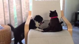 12 week old border collie vs Cat