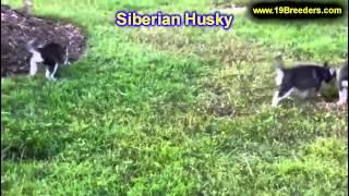 Siberian Husky, Chiots, Pour, Vente, En, Alberta, Canada, Provinces, La Colombie Britannique, Manito