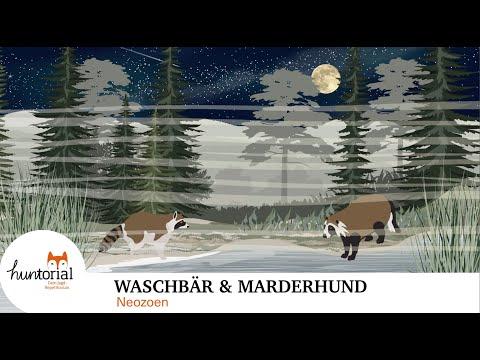 Waschbär und Marderhund