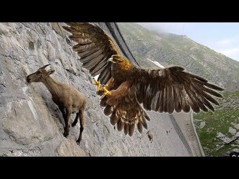 Eagles Hunting Mountain Goat!!let's Watch The Eagles Use Their Skills To Catch The Mountain Goat!!