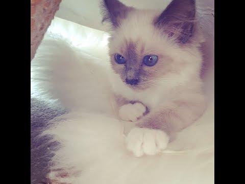 Birman Kitten Blue Point Neva - 3 to 7 months