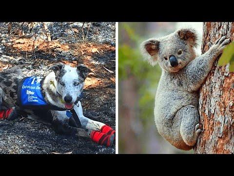 Heldenhafter Hund rettet Koalas vor Waldbränden...