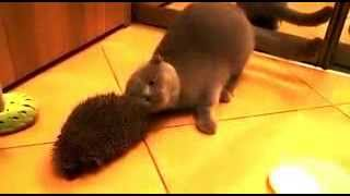 Кошка чешется об ежика    The cat scratches about a hedgehog