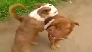 Dogs Mating Up Close And Get Stuck - Funny Animals Mating Compilation - Funny Dog Mating Fails #2
