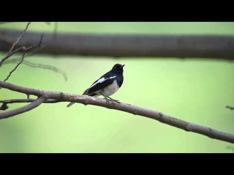 Oriental magpie robin, Islamabad-Pakistan