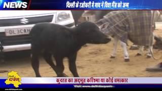 कुदरत का अजूबा : गाय ने दिया भैंस को जन्म l Cow gives birth to buffalo in Delhi